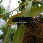 黒いチョウもいます・その2♪