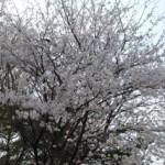 大桑ぐるぐる公園2013春_その19♪