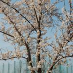 大桑ぐるぐる公園2013春_その10♪
