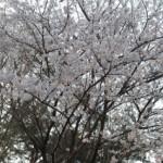 大桑ぐるぐる公園2013春_その20♪